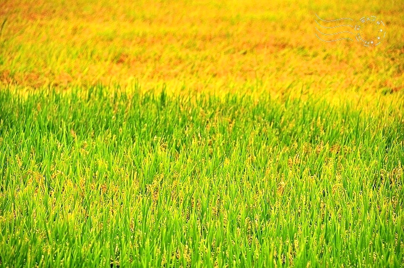 玉里193縣道稻田