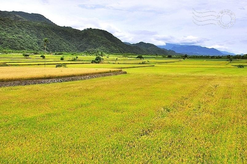 玉里高寮社區稻田