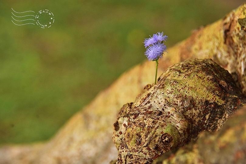 紫花霍香薊