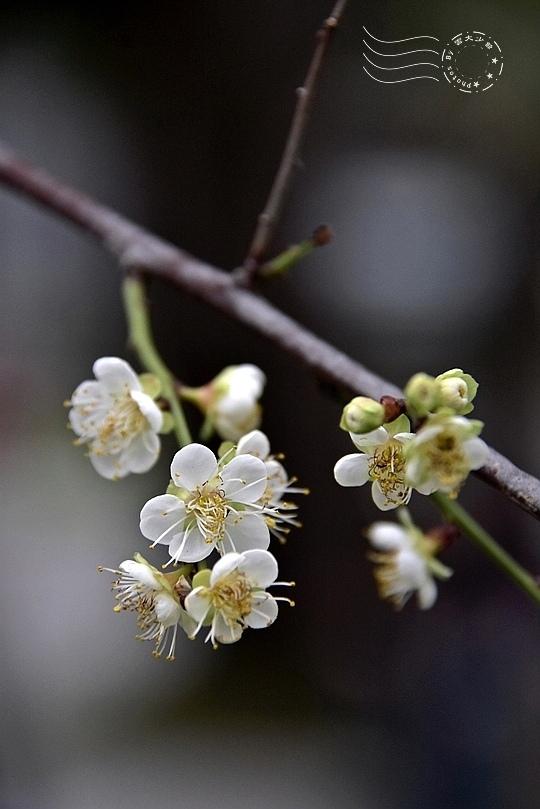 榮星花園梅花