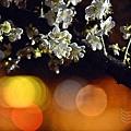 榮星花園夜梅