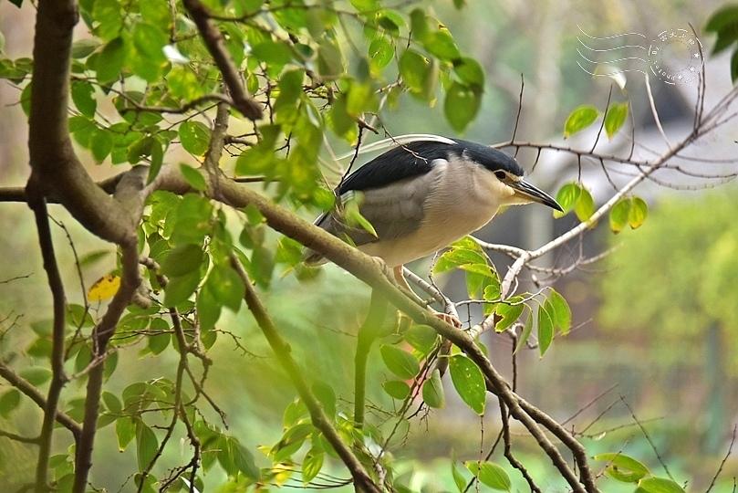 台北植物園夜鷺