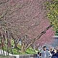 東湖內溝溪櫻花