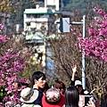 東湖康樂步道櫻花