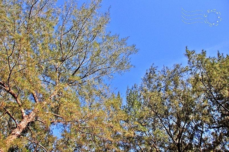 台東森林公園木麻黃