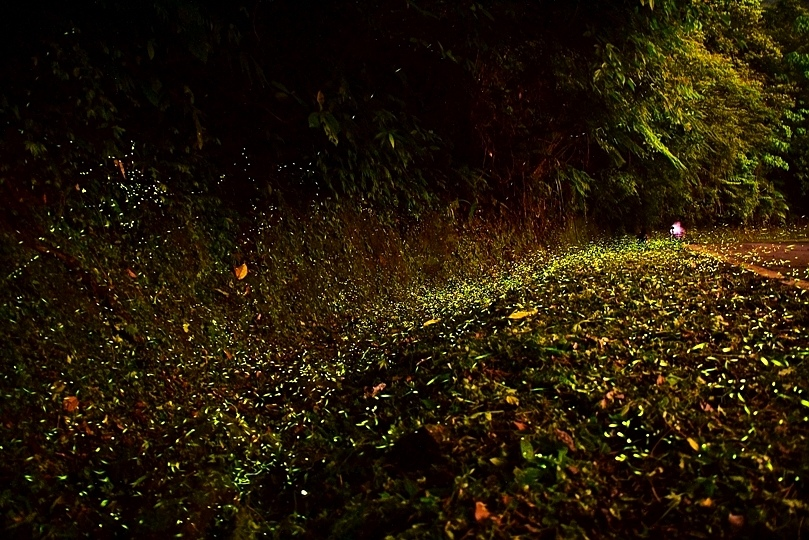 石碇山區螢火蟲