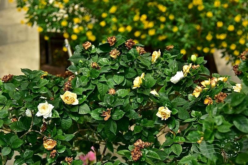 香草菲菲:黃梔花
