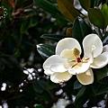 香草菲菲:木蓮花
