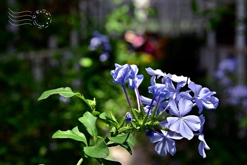香草菲菲:藍雪