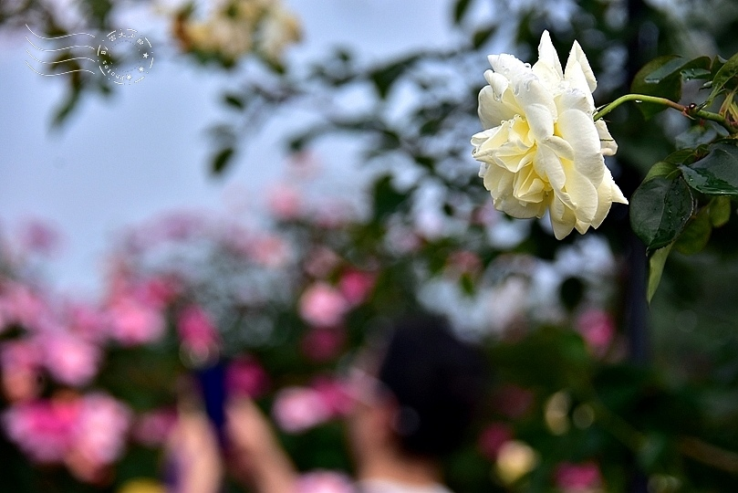 2020台北玫瑰展