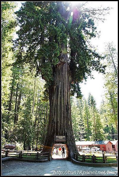 美國加州-紅木森林&穿樹洞 (1)