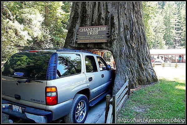 美國加州-紅木森林&穿樹洞 (3)
