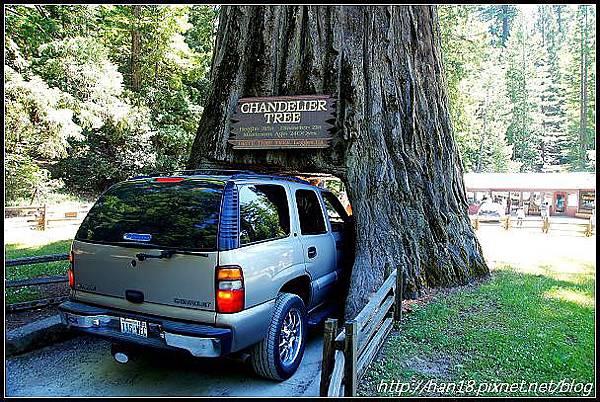 美國加州-紅木森林&穿樹洞 (4)