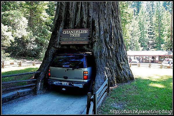 美國加州-紅木森林&穿樹洞 (5)