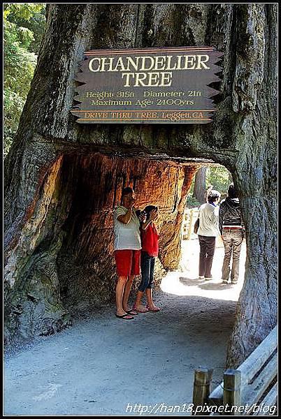 美國加州-紅木森林&穿樹洞 (6)