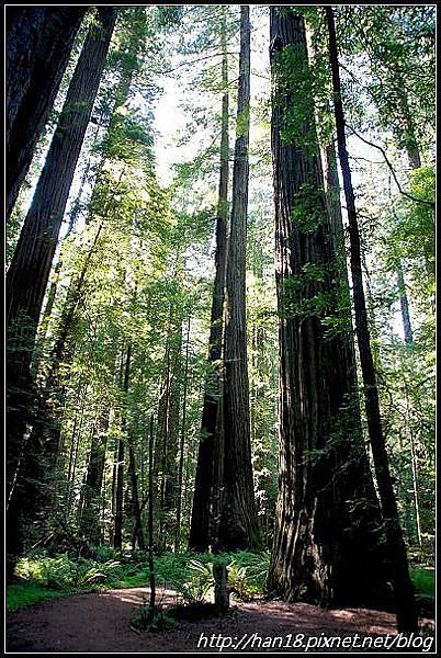 美國加州-紅木森林&穿樹洞 (7)
