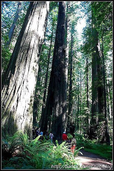 美國加州-紅木森林&穿樹洞 (8)