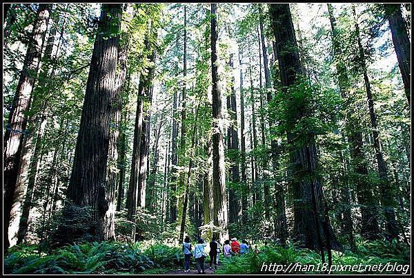 美國加州-紅木森林&穿樹洞 (9)