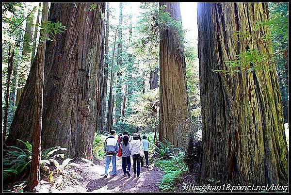 美國加州-紅木森林&穿樹洞 (12)