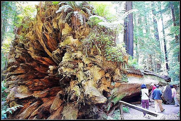 美國加州-紅木森林&穿樹洞 (13)