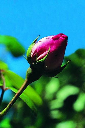 好玫瑰5.jpg