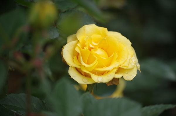玫瑰玫瑰19