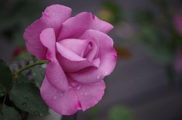 玫瑰玫瑰17