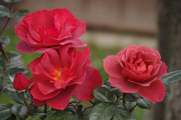 玫瑰玫瑰34