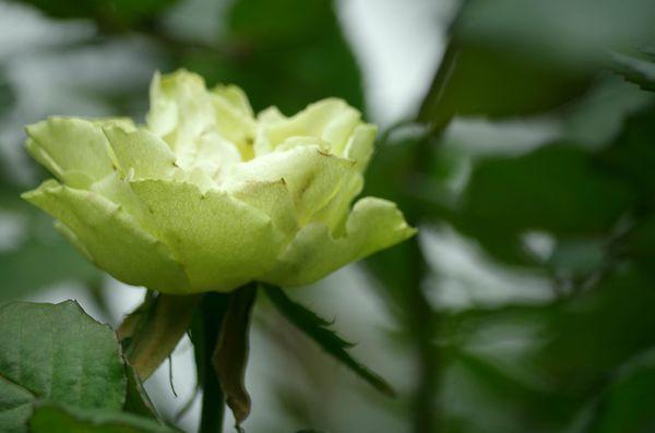 玫瑰玫瑰35