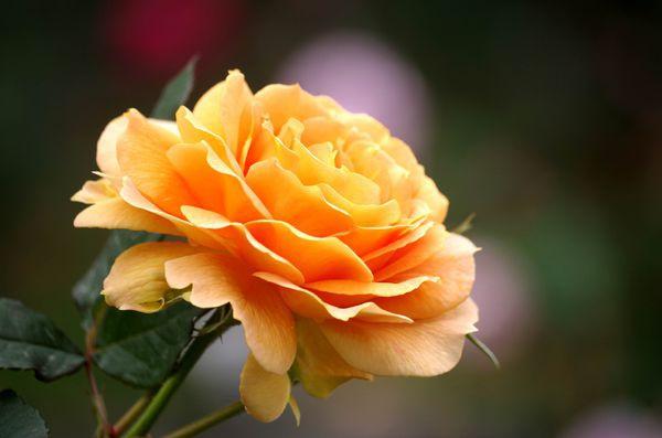 玫瑰玫瑰15
