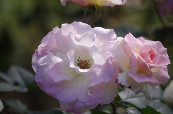 玫瑰玫瑰7