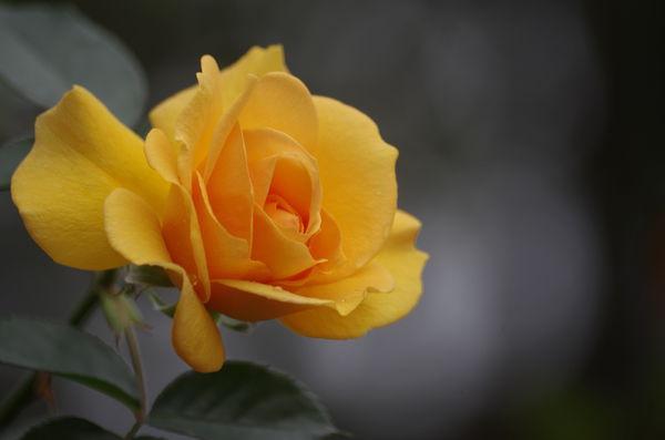 玫瑰玫瑰31