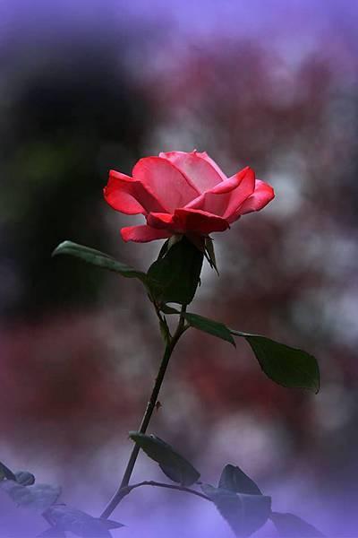 玫瑰我最愛2