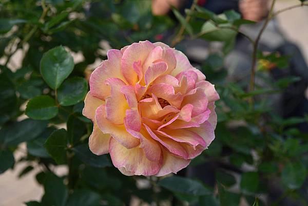 玫瑰我最愛4