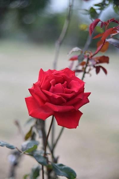 玫瑰我最愛5