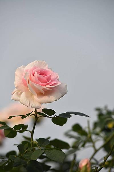 玫瑰我最愛7
