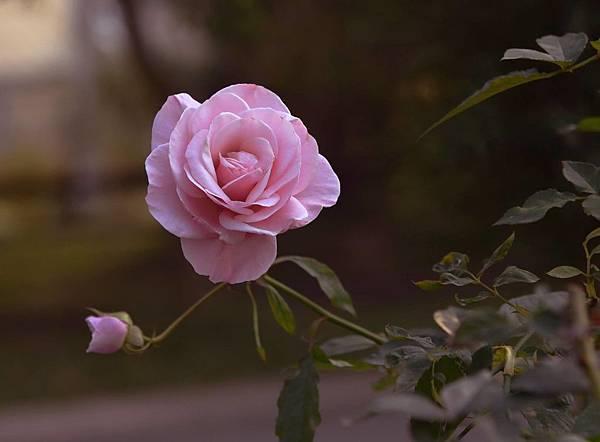 玫瑰我最愛3