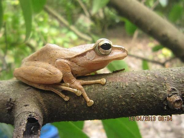 白頷樹蛙1.jpg
