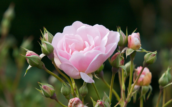 玫瑰1.png