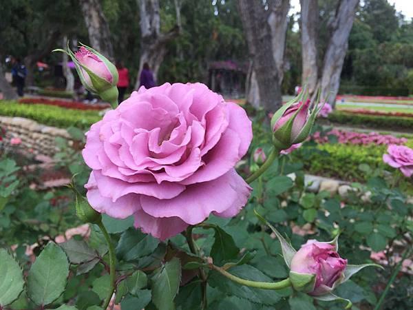 玫瑰100.jpg