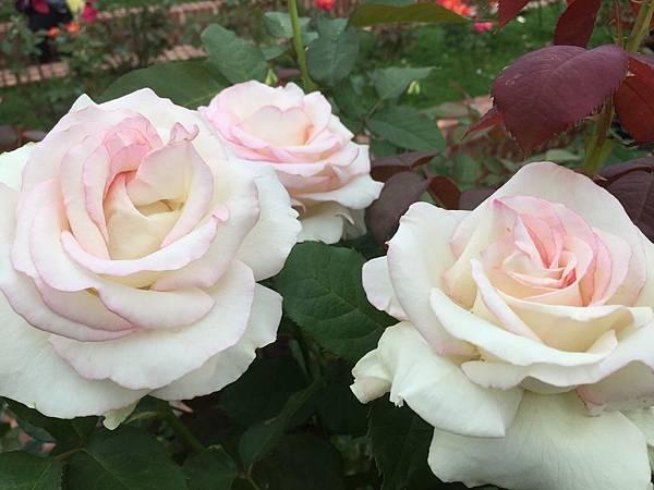 玫瑰101.jpg