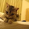 床邊的Fi妞-這個坐姿很可愛 fifi都會把尾巴收好