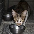 【TNR】貓貓們近況  013.jpg