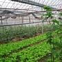 設施栽培蔬菜-4.jpg