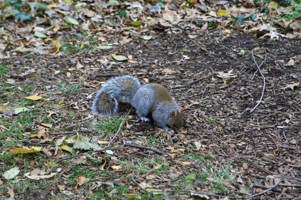 紐約中央公園內的小松鼠,正在挖洞中