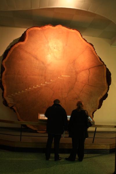 巨大的紅杉木塊