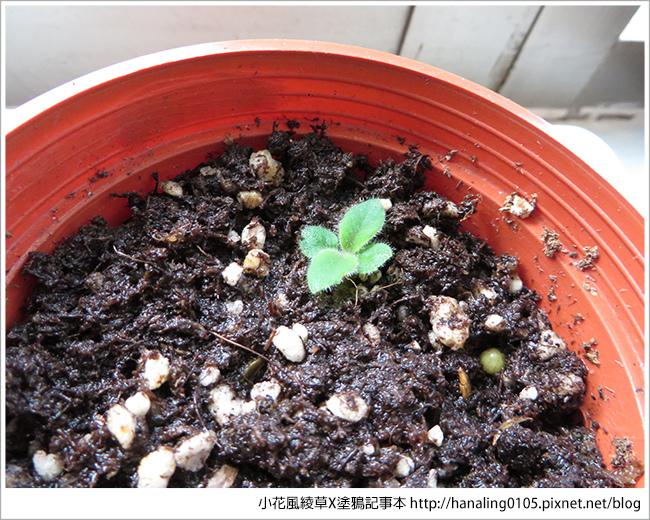2016%2F05%2F10 綠色小芽變大了
