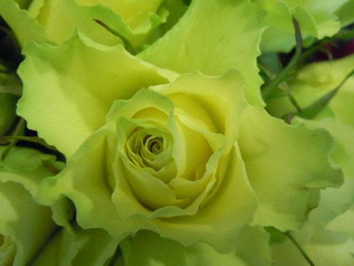 螢光綠玫瑰.jpg