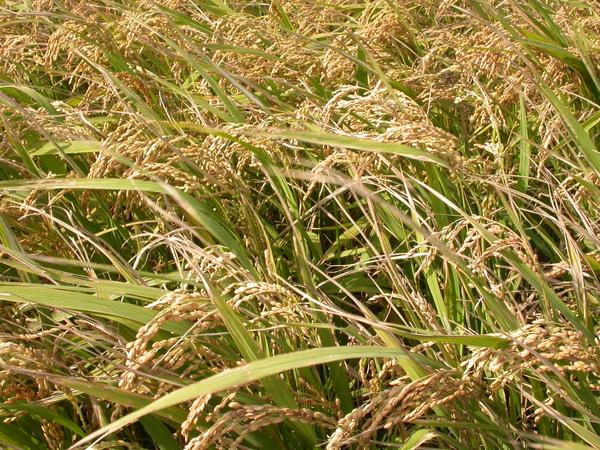 即將採收。金黃色稻穗