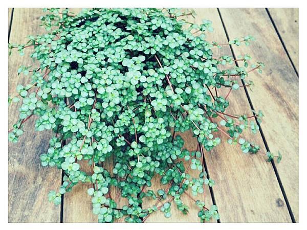 灰綠冷水花